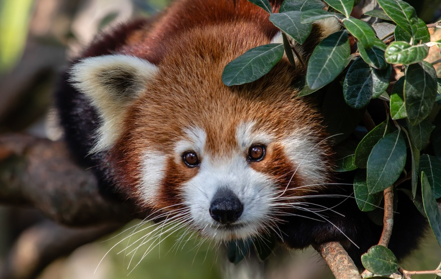 Nepalese Red Panda at Sydney Zoo