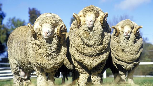 Merino Sheep Australia